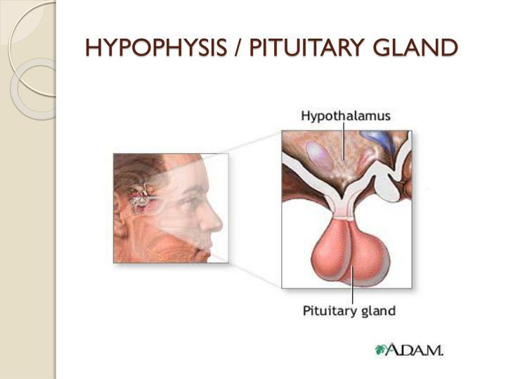 HYPOPHYSIS / PITUITARY GLAND