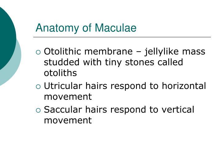 Anatomy of Maculae