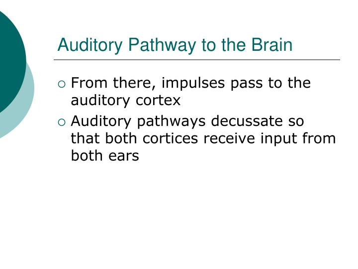Auditory Pathway to the Brain