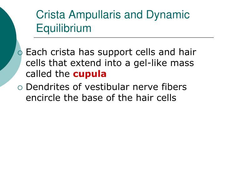 Crista Ampullaris and Dynamic Equilibrium