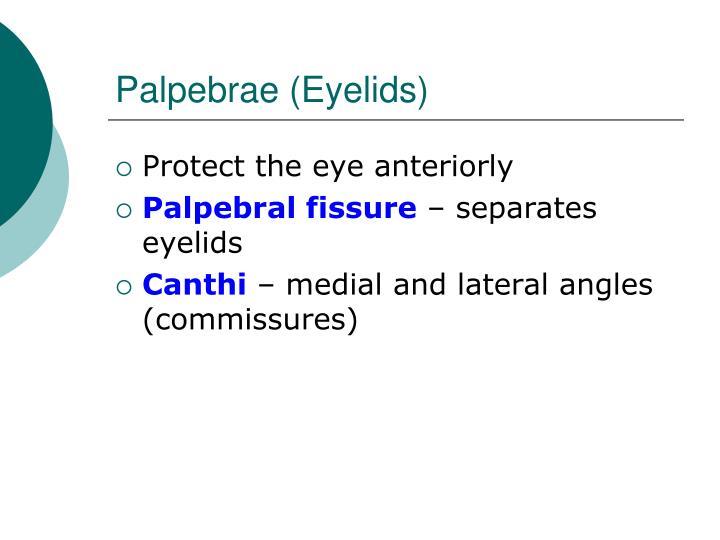 Palpebrae (Eyelids)