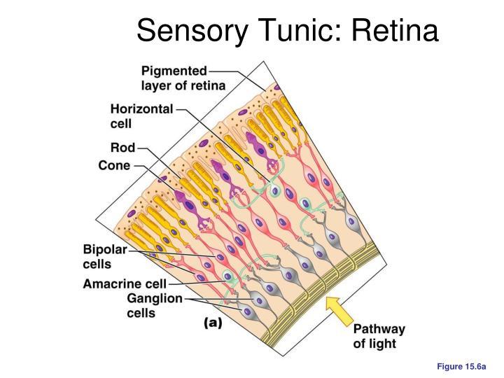 Sensory Tunic: Retina