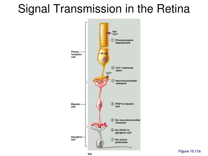 Signal Transmission in the Retina