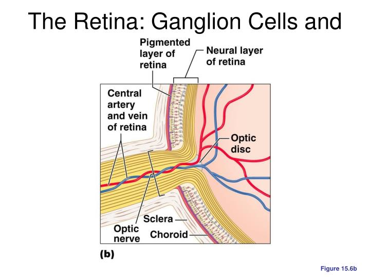 The Retina: Ganglion Cells and the Optic Disc