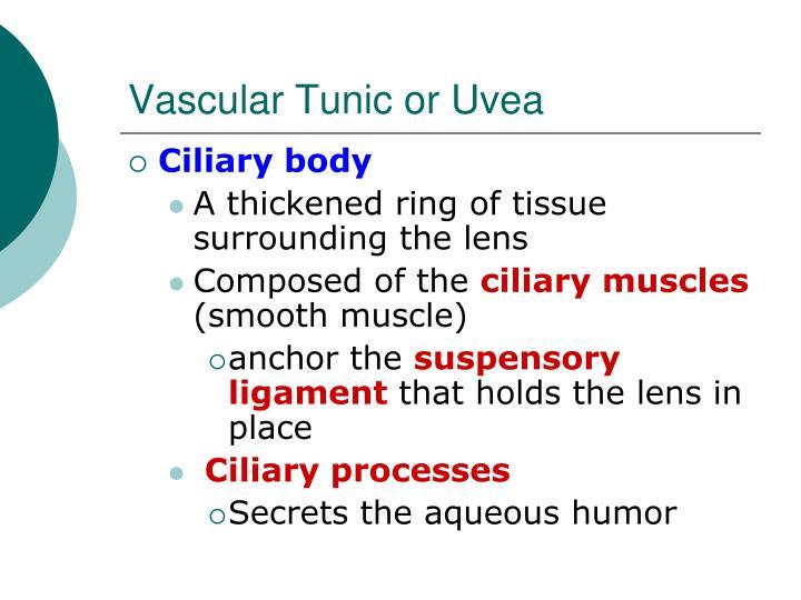 Vascular Tunic or Uvea