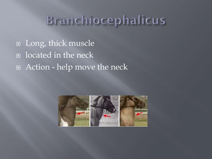 Branchiocephalicus