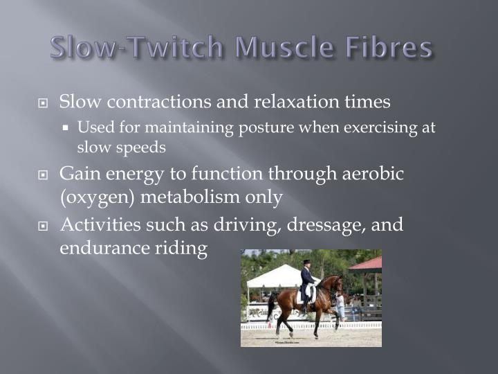 Slow-Twitch Muscle