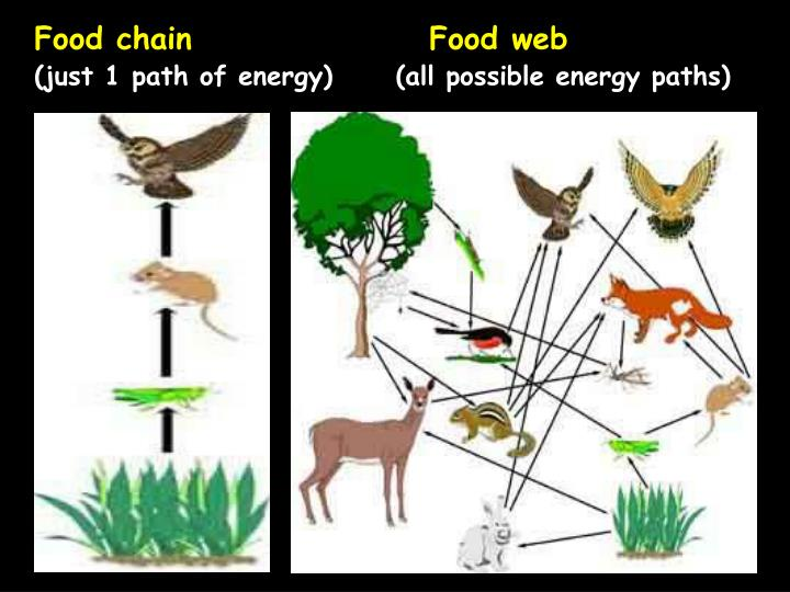 Food chain				Food web