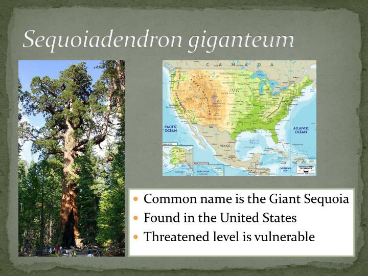 Sequoiadendron