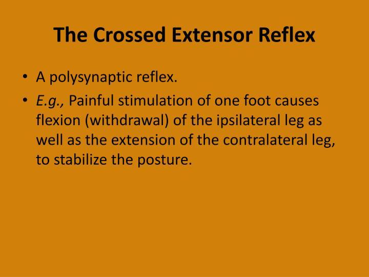 The Crossed Extensor Reflex