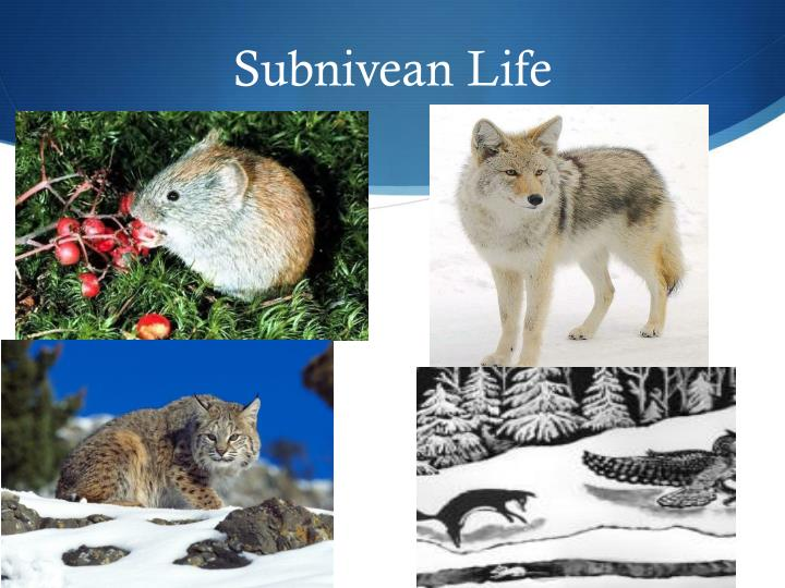 Subnivean Life