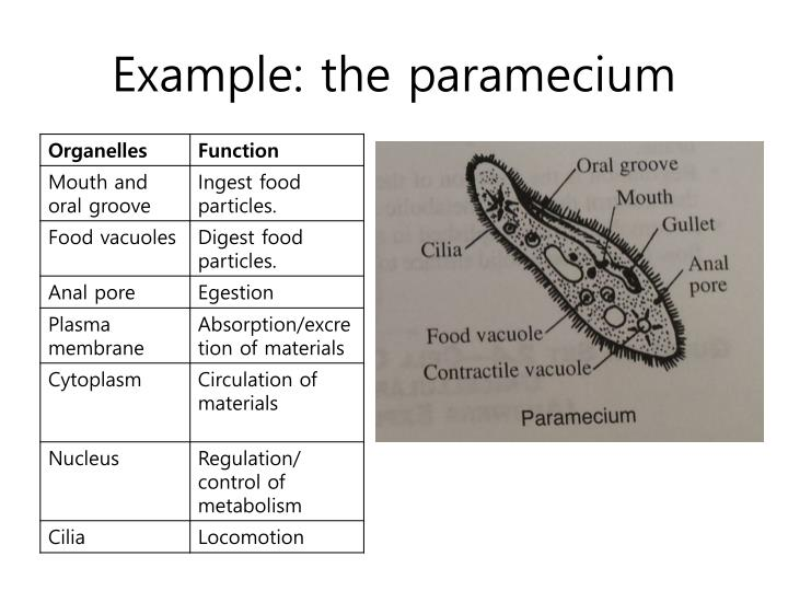 Example: the paramecium