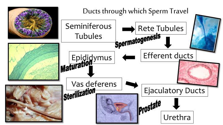travels through Sperm