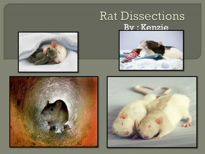 Rat dissections