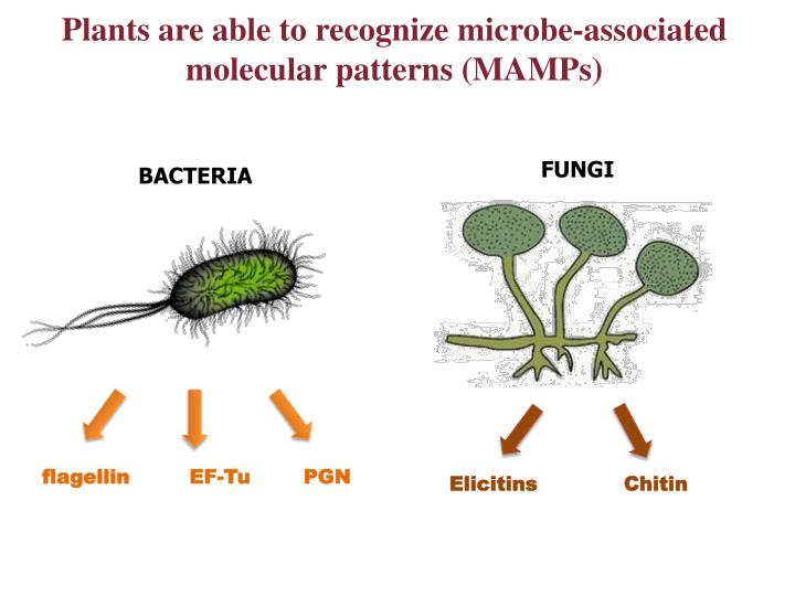 Plants are able to recognize microbe-associated molecular patterns (