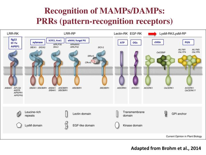 Recognition of MAMPs/DAMPs:
