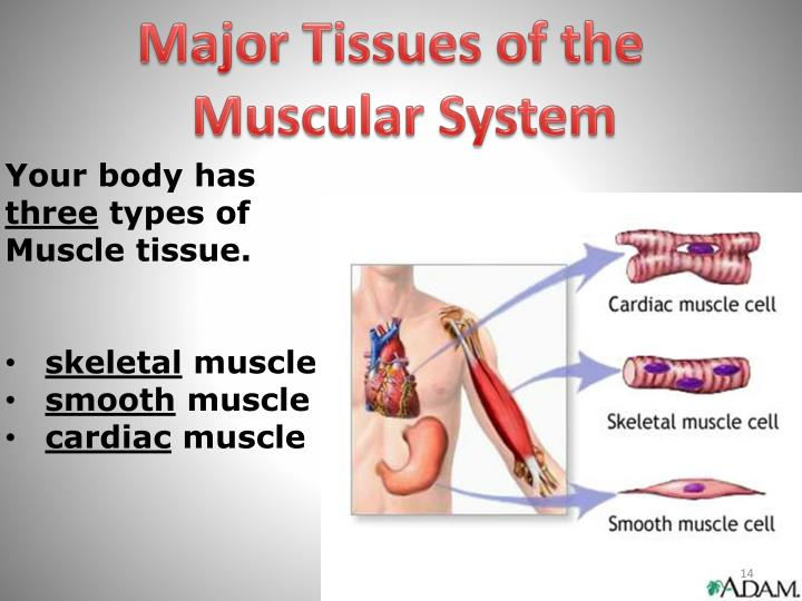 Major Tissues of the