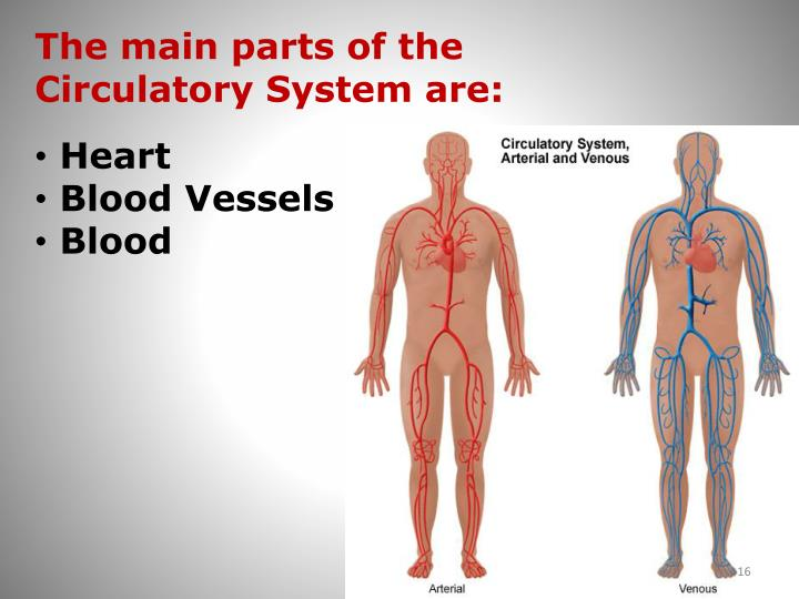 The main parts of the Circulatory System are: