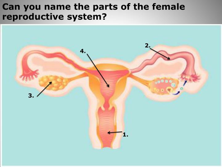 Can you name the parts of the female reproductive system?
