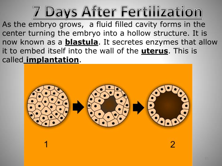 7 Days After Fertilization