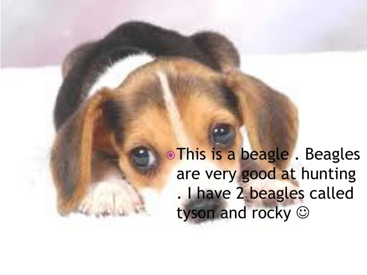 This is a beagle . Beagles are very good at hunting . I have 2 beagles called