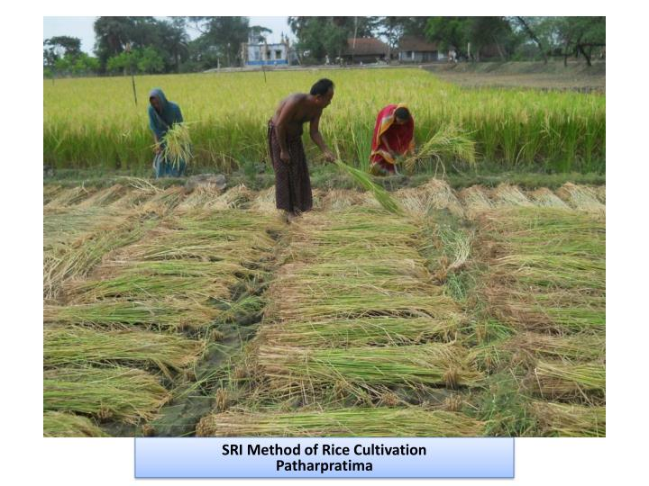SRI Method of Rice Cultivation