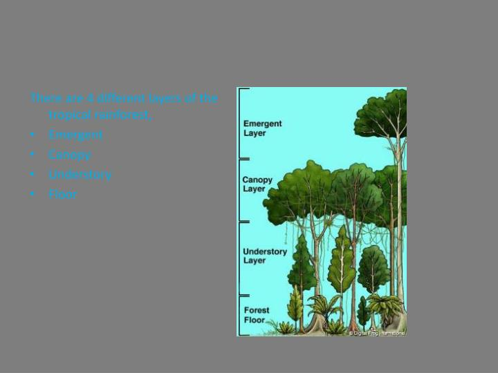There are 4 different layers of the tropical rainforest,