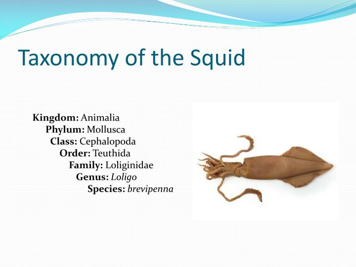 Taxonomy of the squid