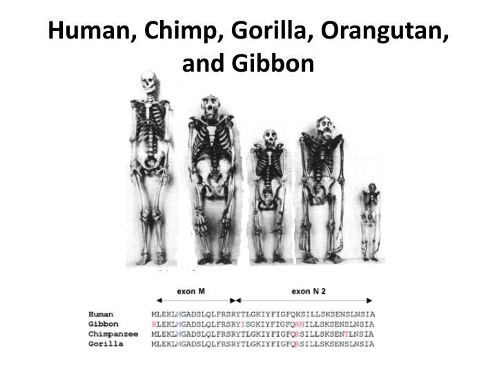 Human, Chimp, Gorilla,