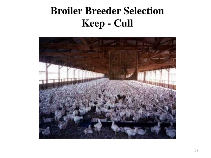 Broiler Breeder Selection
