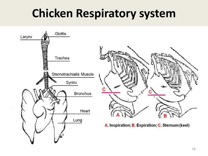 Chicken Respiratory system