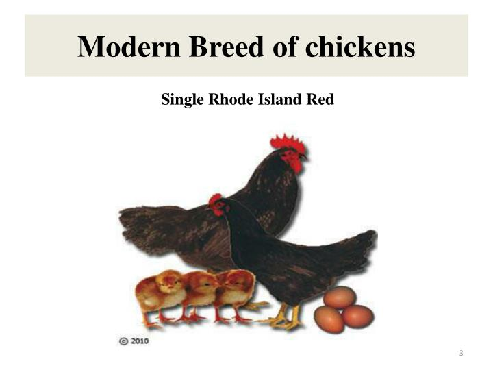 Modern breed of chickens1