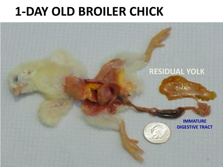 1-DAY OLD BROILER CHICK