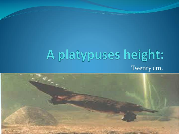 A platypuses height: