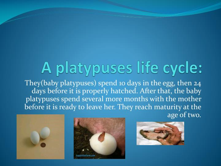 A platypuses life cycle: