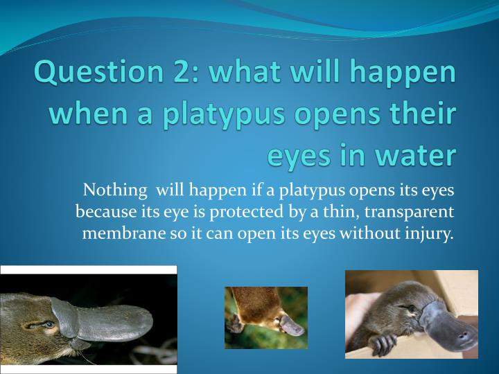 Question 2: what will happen when a platypus opens their eyes in water