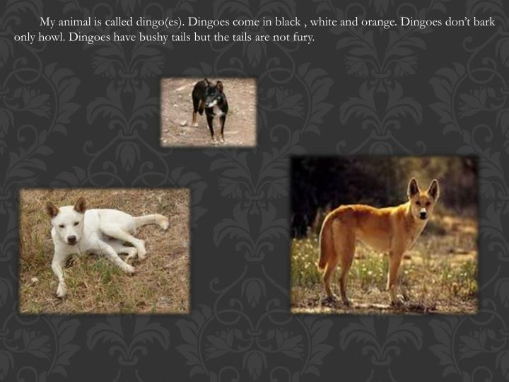 My animal is called dingo(
