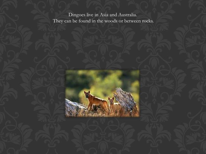 Dingoes live in Asia and