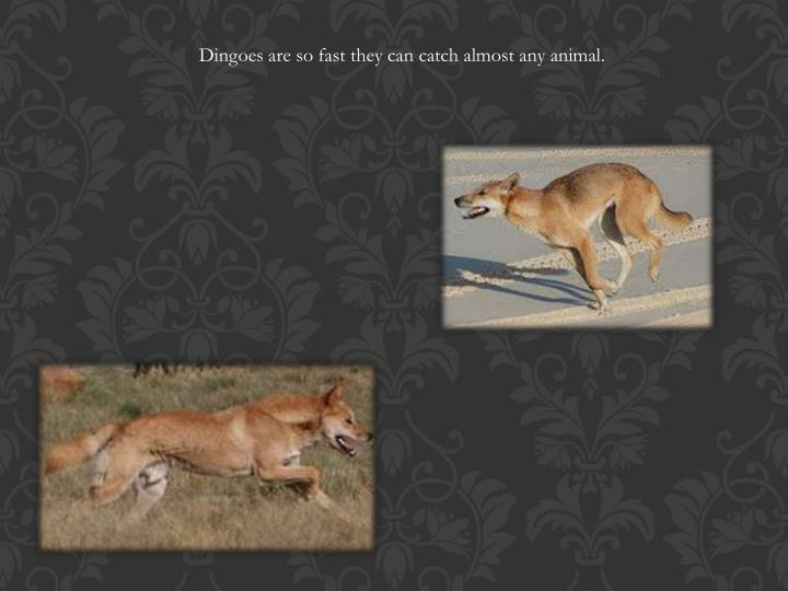 Dingoes are so fast they can catch almost any animal.