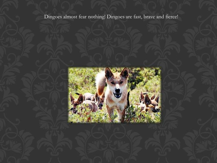 Dingoes almost fear nothing! Dingoes are fast, brave and fierce!