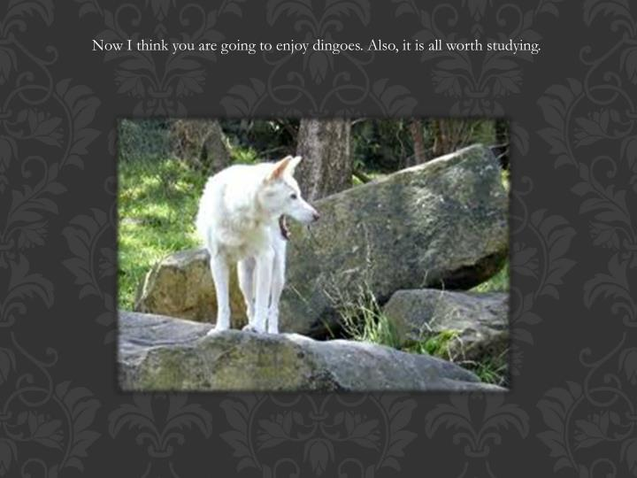 Now I think you are going to enjoy dingoes. Also, it is all worth studying.