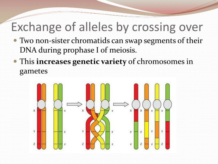 Exchange of alleles by crossing over