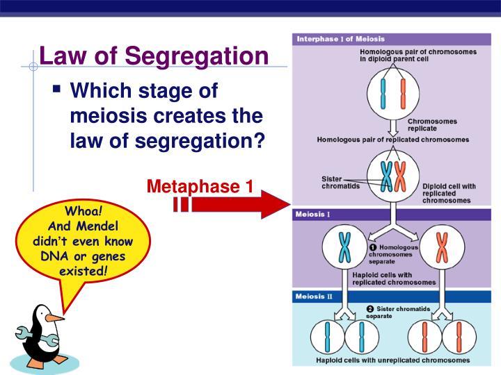 Metaphase 1