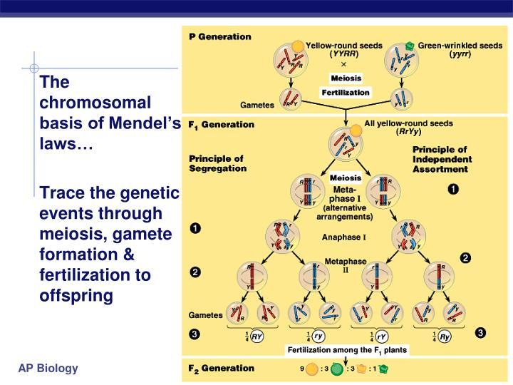 The chromosomal
