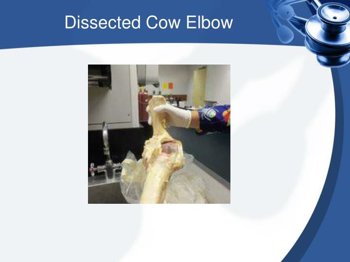 Dissected Cow Elbow