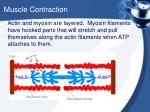 muscle contraction1