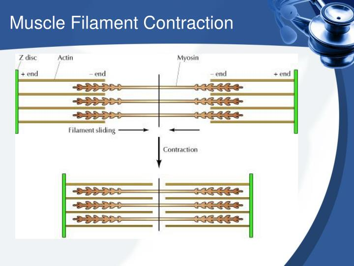 Muscle Filament Contraction
