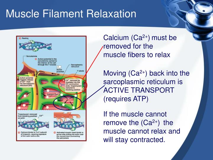 Muscle Filament Relaxation