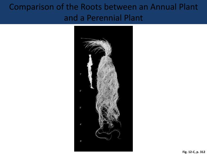 Comparison of the Roots between an Annual Plant and a Perennial Plant