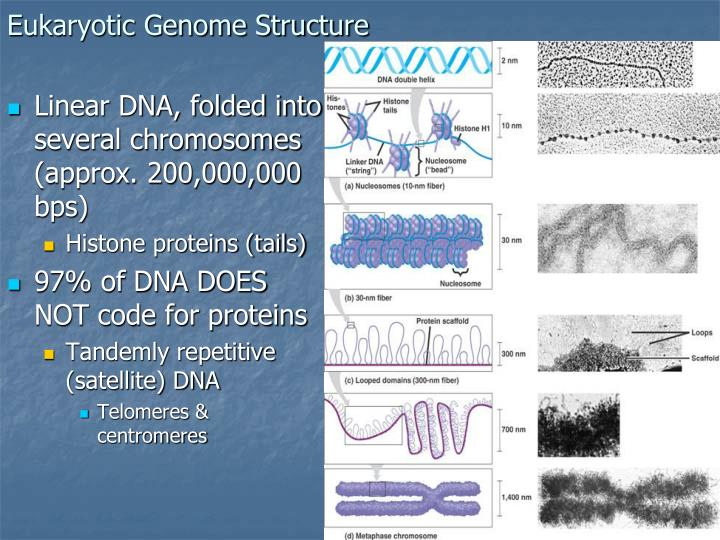 Eukaryotic Genome Structure
